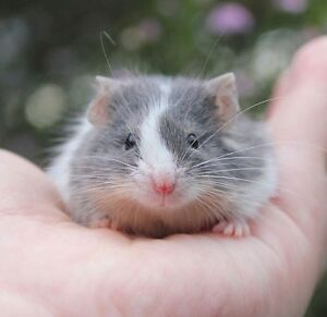 Male Fancy Mice Available Pennant Hills Hornsby Area Preview