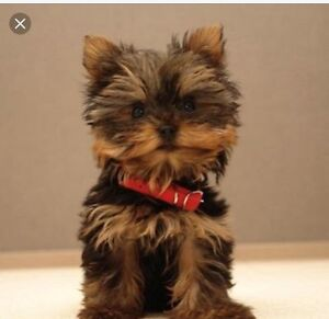 Looking for a Yorkie!