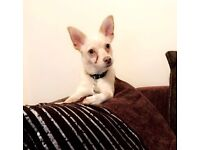 chihuahua boy for sale 9 months old short haired house trained good round children lovely little dog
