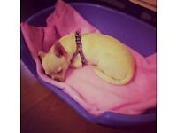 Two Gorgeous Chihuahua's For Sale
