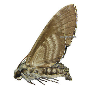Unmounted Butterfly/Sphingidae - Manduca florestan, FEMALE, USA, A- - Wieliczka, Polska - Damaged specimen in transport or non-conformity of the product with a description of the auction - Wieliczka, Polska