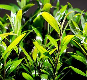 LIVE AQUARIUM PLANTS : SIAMENSIS : (HYGROPHILA CORYMBOSA)