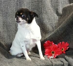Chihuahua mexicain femelle 8 ans  chiwawa