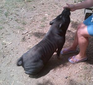 Free Potbelly Pig
