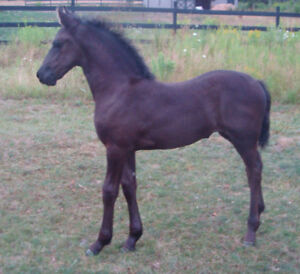 Stunning 2016 KFPS Friesian Filly *Broodmare Prospect Only