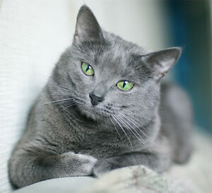 Looking for Russian Blue Cat no more then 1 year old!