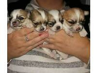 Chihuahua puppies very small frame , mum 5.4lbs