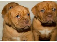 Beautiful Dogue De Bordeaux puppy's for sale