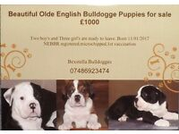Olde English Bulldogge puppies for sale