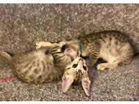 bengal kittens are looking for loving homes
