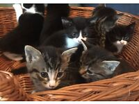Black/White and Tabby kittens for sale