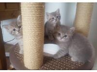 Stunning Lilac British Shorthair kittens