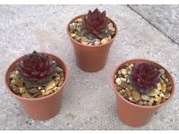 Sempervivum (House Leek) plants