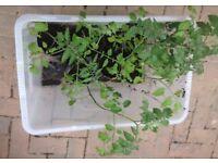 7x cherry tomato plants in small pots