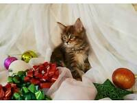 Maine Coon girl kitten