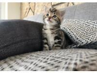 "Kitten for sale ""Little Cub"" 💙 Northern Ireland"