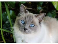 Lovely gentle GCCF blue mitted female Ragdoll cat neutered turning 3 in October