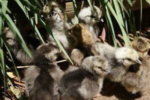 Bantam CHICKS SILKIE CHICKENS 10 ea Gawler Gawler Area Preview