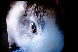 my beautiful dwarf lop rabbit Gembrook Cardinia Area Preview