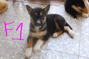 Husky x Alaskan Malamute x Labrador x kelpie puppy's for sale Box Hill North Whitehorse Area Preview