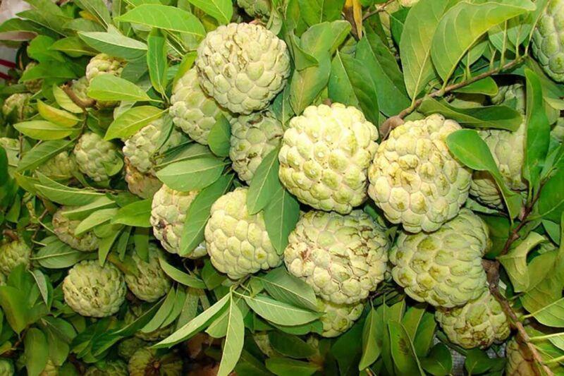 Sugar Apple Na Dai( Mãng Cầu Dai) 1 Year Old Live Seed Tree-Asian Plant Collecti
