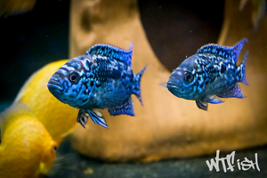 Aquarium fish for sale sydney Smithfield Parramatta Area Preview
