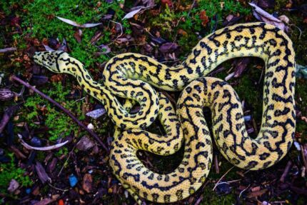 2 year old possible het for albino Zebra Jag.   Gawler Gawler Area Preview
