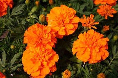 Marigold- Tagetes Erecta- Orange- 50 Seeds- BOGO 50% off SALE
