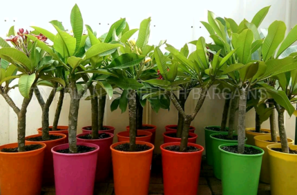 Assorted Frangipanis Named Varieties Rooted Plants From  $16 Each