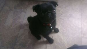 Pedigree Black Pug with papers. Not Desexed. Very Small 4-5kg Female.