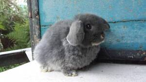 Baby Mini Lops Mt Gambier Region Preview