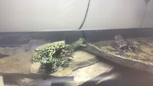6 fire belly toads for sale!