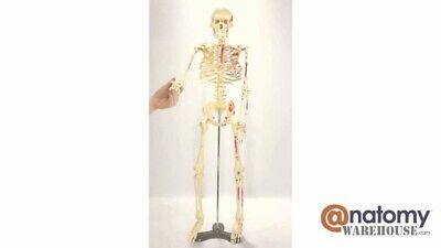 Halloween Skeleton 33 Mr. Thrifty Anatomical Model Wstand Budget Classroom New