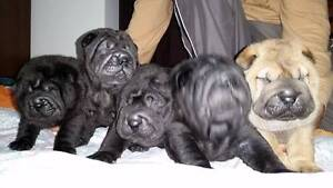 Shar pei puppies – ready for Christmas! Perth Perth City Area Preview