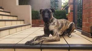 10 Months Old Male Puppy - Healthy and Active Padstow Bankstown Area Preview