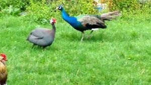Looking for Guinea fowl or peafowl