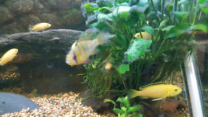 Electric Yellow Cichlid Woodridge Logan Area Preview