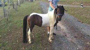 Miniature pony Caboolture Caboolture Area Preview