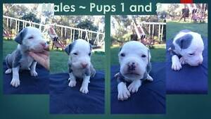 Purebred American Staffy Pups with papers Carabooda Wanneroo Area Preview