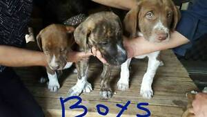 Wolf hound x  Bull mastiff puppies Waterford West Logan Area Preview