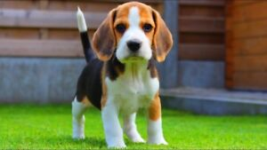 WANTED; Male Beagle puppie!