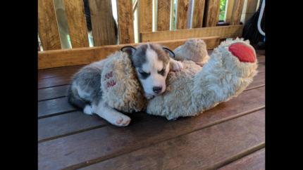Upcoming litter Siberian husky pups