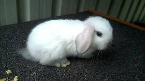 MINI LOP X STANDARD LOP MOST ACCESSORIES INCLUDED! Wakeley Fairfield Area Preview