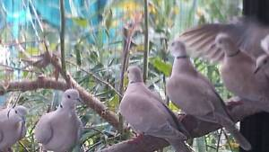 Ring neck DOVES $5 each Gawler Gawler Area Preview
