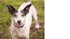 Charlie- Friendly, Jack Russell X  seeking new home Midland Swan Area Preview