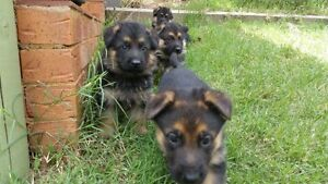 PUREBRED GERMAN SHEPHERD PUPPIES FOR SALE Seymour Mitchell Area Preview