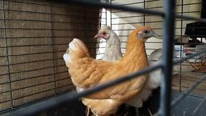 BANTAM HENS Pullets White & Orange $30 ea Chickens Gawler Gawler Area Preview