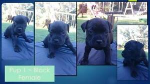 Pedigree Staffy Pups with Papers Carabooda Wanneroo Area Preview