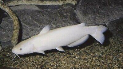 1 Albino Channel Catfish 2-3