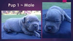 Pedigree English Staffy Pups with Papers Carabooda Wanneroo Area Preview